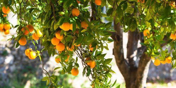 Польза от эфирного масла апельсина, правила его применения и противопоказания