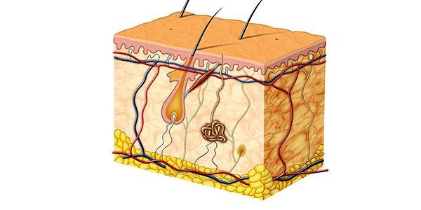 Из каких слоев состоит кожа человека, ее строение и функции